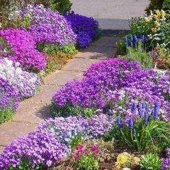 50+ Rockcress Cascading Mix Flower Seeds , Under The Sun Seeds: Cascading Mix, Sun Seeds, Cascade Mix, Flower Seeds, Rockcress Cascading