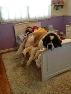 8 Signs That Your Dog Actually Loves You: Animals, Beds, St Bernard, Pets, Funny, Saint Bernard, Puppy, Friend, Big Dogs
