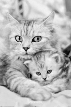 A cat and her kitten snuggling up before bed time. In timeless black and white photography, the image depicts the tenderness of a mother's love beautifully as her cute little kitten buries its head in her mothers arms. Fiercely protective of her child