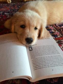 A Golden Retriever who looks like he wants someone to read to him.: Animals, Dogs, Golden Retrievers, Pet, Book