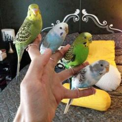 A handful of parakeets: Hand, Animals, Parakeets, Budgies, Pet, Birds, Photo