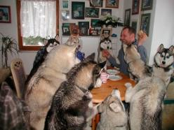 A husky dinner party that's gone on until the wee hours of the morning. | 51 Animal Pictures You Need To See Before You Die: Husky Party, Animals, Dogs, Party'S, Pet, Parties, Dinners, Funny