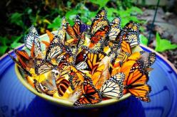 A little bowl containing orange slices attracts butterflies in droves, who knew?: Bowl, Orange Slices, Butterfly Feeder, Gardening Outdoor, Butterfly Garden, Slices Attract