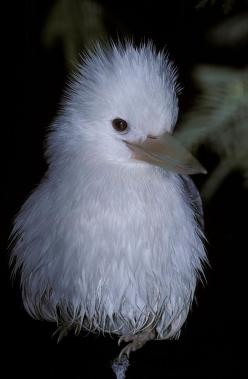 "A rare Albino Kookaburra with white feather plumage- a song about the Kookaburra--""Kookaburra sits in the old gum tree, merry merry king of the bushes he, laugh Kookaburra, laugh Kookaburra, gay your life must be!!"": Albino Kookaburra, Albino Anim"