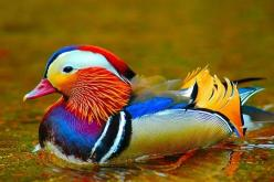 A Real Wood Duck!! You Quack me up!: Animals, Nature, Mandarin Duck, Colors, Ducks, Photo, Birds