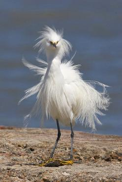 "A Snowy Egret: ""I DON'T have control of the wind speed, you know! Been kind of a bad hair day!"": Animals, Birdie, Bad Hair, Water Birds, Beautiful Birds, Snowy Egret"
