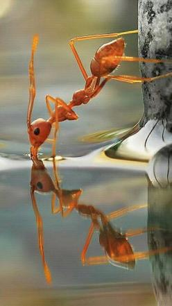 A very thristy ant standing on water, getting a drink is an amazing photo.: Picture, Reflection, Macro Photography, Fire Ant, Ants, Drinking Water, Animal