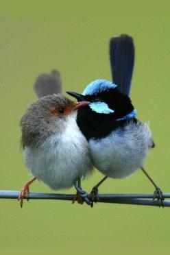 Adorable Fairy Wren. I had two families of these birds living in my bamboo. Two daddies ,4 mummies (yes they are polygamous) & 8 babies, who are so tiny.: Blue Wren, Fairy Wrens, Fairies, Superb Fairy Wren, Aves Birds, Beautiful Birds, Animal
