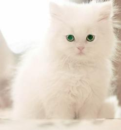 adorable kitty: Kitty Cats, Fluffy White, White Cats, Kitty Kitty, Adorable Kitten, Green Eyes, Kittens Cats, Cats Kittens, White Kittens