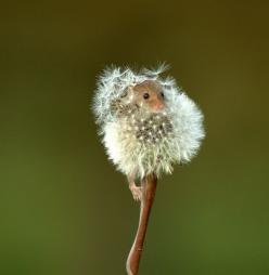 adorable: Mice, Mouse, Animals, Nature, Beautiful, Things, Dandelions, Photo
