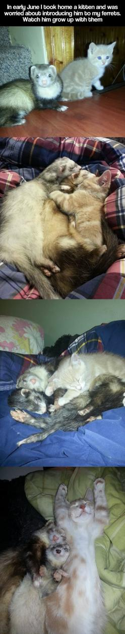 Adorable: Picture, Kitten Growing, Sweet, Cute Kitten Ferrets Growing Up, Pet, Watch, Cat Love, Kitten Grows, Animal