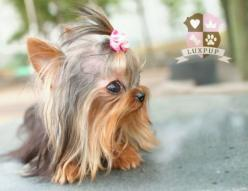 adorable....so teeny!!: Dogs, Teacup Puppies, Puppys, Baby, Animal
