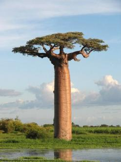 African Baobob Tree - coolest tree: Baobabtree, Baobab Trees, Nature, Plants, Places, Africa, Photo, Madagascar