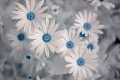 African daisies (Ostospernum). Daisies have always been my favorite, but these take it to a whole new level! Omg!: Color, Blue, Daisies, White, Daisy, Beautiful Flowers, Things, Pretty, Garden