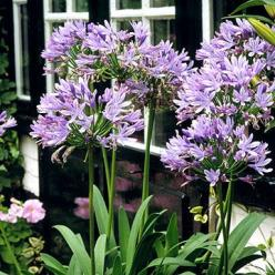 African Lily (Agapanthus africanus) grows strappy green leaves and stately stalks with clusters of blue or white flowers rising up to 3 feet tall. Plant it from October to February, placing the tip of the rhizome just below the surface in full sun to part