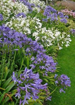 Agapanthus- great plant for small gardens especially for dry areas.: Ideas, White Agapanthus, Gardens, Agapanthus Plants, Garden, Flower, Blue And White