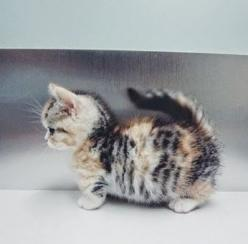 ahhh this is so adorable I need   it.: Cats, Animals, Munchkin Cat, Munchkin Kitten, Pet, Adorable, Baby, Kittens, Kitty
