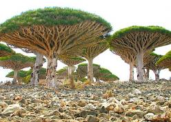 """Alien looking umbrella-shaped """"blood trees"""" are found only in Socotra, a four island archipelago in the Indian Ocean. Post: 7 Most Mysterious Places on Earth. via Hub Pages: Nature, Islands, Trees, Yemen, Places"""