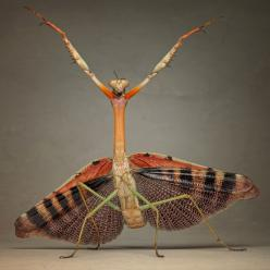 Aliens on Earth: macro photographs of insects by Igor Siwanowicz  A large African praying mantis in Igor's home studio in Munich, Germany    A praying mantis appears to dance or adopt a kung-fu pose in this picture captured by Igor Siwanowicz at his h