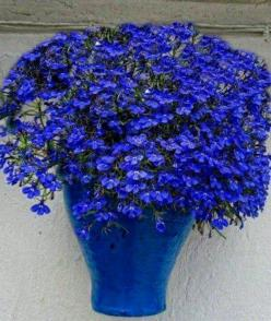 All things blue: Flowers Gardens, Ideas, Beautiful Blue, Blue Lobelia, Color Blue, Beautiful Flowers, Blue Flowers Lovely, Flowers, Blues