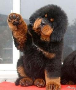 All This Tibetan Mastiff Puppy Wants To Do Is Shake Hands With You - i die.: Animals, Dogs, Pets, Tibetan Mastiff Puppies, Puppys, Tibetanmastiff, Friend