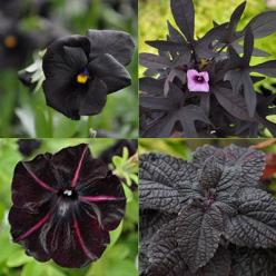 Almost-black plants and foliage, clockwise from top left: Black Magic Viola, Sweet Caroline Purple Sweet Potato Vine, Colorblaze Dark Star Coleus and Pinstripe Petunia.: Black Magic, Sweet Potato Vines, Caroline Purple, Black Flowers, Purple Sweet Potatoe