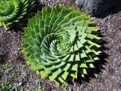 Aloe polyphylla (spiral aloe) is an endangered plants native to the Basaltic mountains in Lesotho, a small country by South Africa. Plants cling to high altitude slopes which are characterized by copious rainwater runoff and snow in the winter. It is thre