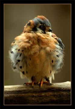 American Kestrel ~ looks like he's gettin' ready for the cold weather...: Babies, Animals, Baby Hawk, American Kestrel, Birdie, Hawks, Beautiful Birds, Baby Kestrel