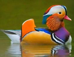 ANIMAIS MARAVILHOSOS: Animals, Mandarin Duck, Colors, Art, Ducks, Amazing Animals, Amazing Duck, Birds