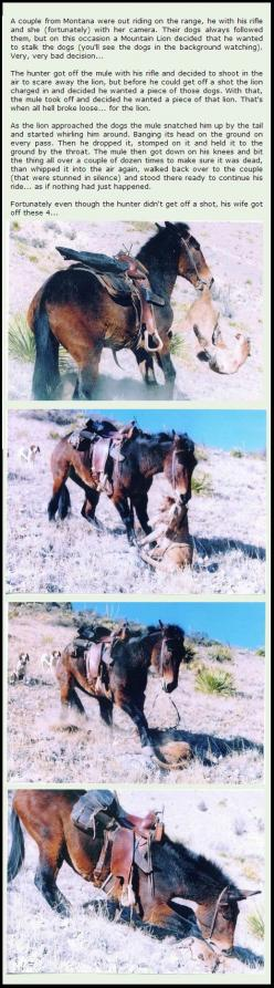 Animals never stop amazing me.: Awesome Mule, Badass Mule, Bad Ass, Horses, Guard Mule, Pet, Mountain Lions, Animal