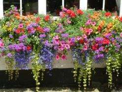 annual flowers for window boxes | Email This BlogThis! Share to Twitter Share to Facebook: Container Garden, Beautiful Window, Annual Flowers, Flower Boxes, Window Boxes