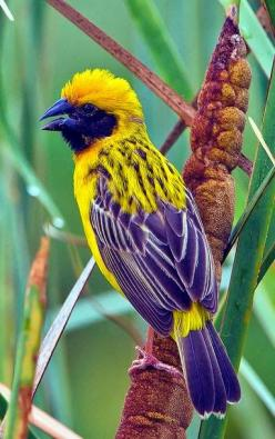Asian Golden Weaver Male: Birds Butterflies, Color, Animals Birds, Beautiful Birds