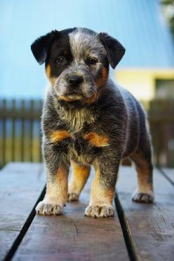 Australian Cattle Dog pup, aka Blue Heeler, So cute.: Animals, Australian Cattle Dog, Puppys, Blue Heeler, Australiancattledog, Cattle Dogs, Heeler Pup