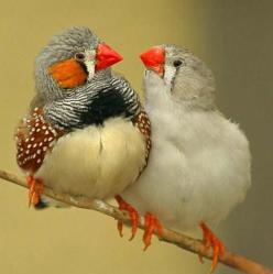 Australian Finches: Animals, Nature, Australian Finches, Pet, Birdie, Beautiful Birds, Zebras