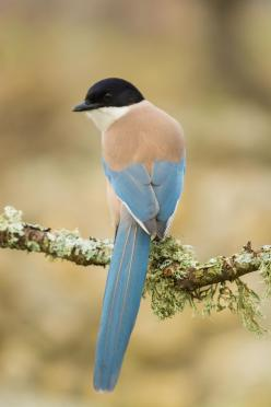 "Azure-winged Magpie (cyanopica cyanus) ~ by Fernando Sanchez de Castro ~ Miks' Pics ""Fowl Feathered Friends V"" board @ http://www.pinterest.com/msmgish/fowl-feathered-friends-v/: De Castro, Magpie Cyanopica, Azure Winged Magpie, Beautiful Bird"