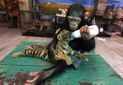 baby animals helping baby animals?...whoever says animals don't have a soul....is Wrong!   This is caring not instinct!!!: Animals, Sweet, Tiger Cubs, Adorable, Tigers, Photo, Monkey
