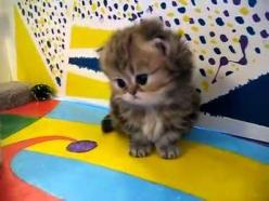 Baby kitten....: Cats, Fluffy Kitten, Persian Kittens, Baby Kittens, Stuffed Toy, Kitty, Persian Cat, Cute Baby Kitten, Animal