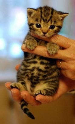 Baby kitty cat, omg it's so cute!: Cats, Animals, So Cute, Pet, Bengal Kittens, Adorable Kitten, Kitty