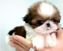 "Baby Shihtzu. <3 I want my next Shihtzu to look like this and her name will be ""Paisley"". <3: Animals, Puppies, Dogs, So Cute, Pet, Puppys, Shihtzu, Baby, Shih Tzu"