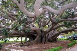 Banyan tree or ficus magnolioides, from the gardens of Villa Malfitano, Palermo. This Villa and its extensive gardens were begun in 1886 by Joseph Whitaker, grandson of Ingham Whitaker, an English wine merchant who had set up both shop and ship-building i