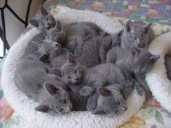 basket of gray cats! CORRECTION!!! Basket of Russian Blue kittens! PLEASE! These are NOT just ordinary grey cats but the most extraordinary cats in the world! I lived with two for more than 15 years and there is no other cat like them!: Russian Blue, Anim
