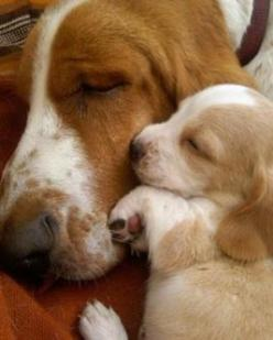 Basset Hound Regina Pet Walkers Summer time heat KILLS pets. Sign up for our free news letter and find out what you need to know to protect your pets. http://gjconstructs.wix.com/hugs-pet-home-care#!subscribe/c76j: Animals, Dogs, Sweet, Bassetthound, Pupp
