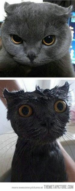 Baths traumatize even the coolest cats: Cats Humor, Kitty Cats, Bath Time Hahaha, Cat Bath, Coolest Cats, Funny Cats, Wet Cats, Baths Traumatize, Animal