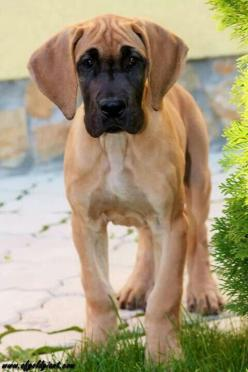 Beautiful coloring on this little baby! #Great #Dane #puppy: Danes Puppies, Dane Puppies, Dogs, Blue Great Danes, Great Danes Puppy, Greatdanes, Great Dane Puppy Black, Fawn Great Dane Puppy, Black Great Dane Puppy