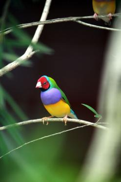 Beautiful colors....and if you look closely at the beak,there is a patch of red giving the look of red lips,lol: Colorful Birds, Colour, Animals, Colors, Beautiful Birds, Gouldian Finch, Photo