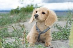 Beautiful English Cream #Doxie: Doggie, Babies, Puppies, Dogs, Adorable Animals, Pets, Doxies, Puppy