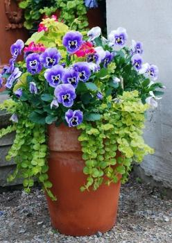 Beautiful pot!: Garden Container, Container Gardens, Creeping Jenny, Flower Pot, Pansies, Container Gardening, Color Combination