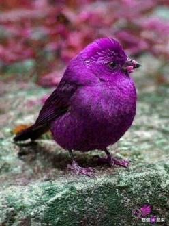 Beautiful purple creature......: Animals, Purple Bird, Color, Birdie, Purple Passion, Pretty Birds, Beautiful Birds