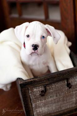 Beautiful White Boxer Dog re-posted by www.dailyboxer.com #WhiteBoxerDog: Boxer Dogs, White Boxer Puppies, Blue Eye, Boxers Dog, Dogs Boxer, White Boxers, White Boxer Dog, Animal