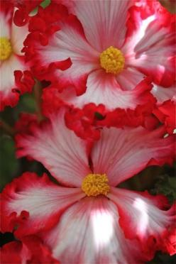 Begonia/ATTRACTS: Hummingbirds.: Fabulous Flowers, Beautiful Flowers, Flowers Attract, Pretty Flowers, Flower Power, Bloom, Flowers, Garden